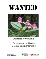 wanted_balsamine_1_